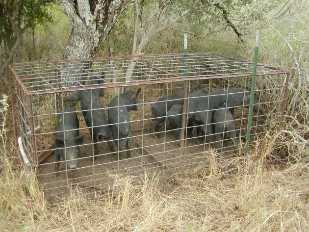 Photograph of feral pig trap