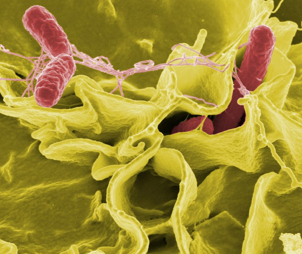Image of bacteria that makes up Salmonella