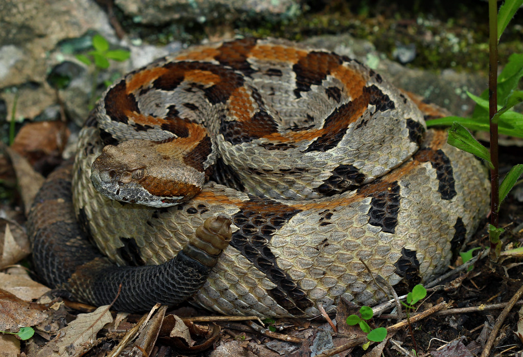 Picture of timber rattlesnake