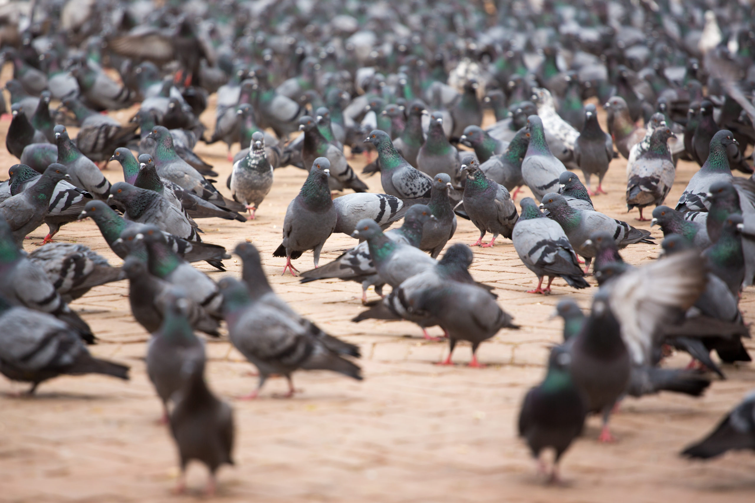 Image of a large flock of pigeons in a city