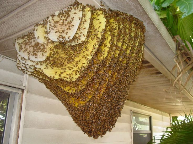 Image of honey bee nest on home's ceiling