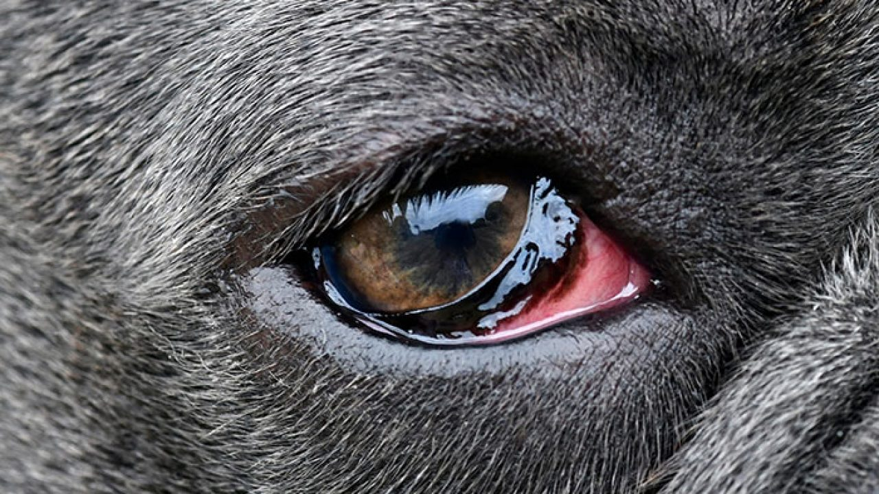 Photo of dog eye with Conjunctivitis
