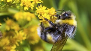 Picture of honey bee pollinating flower