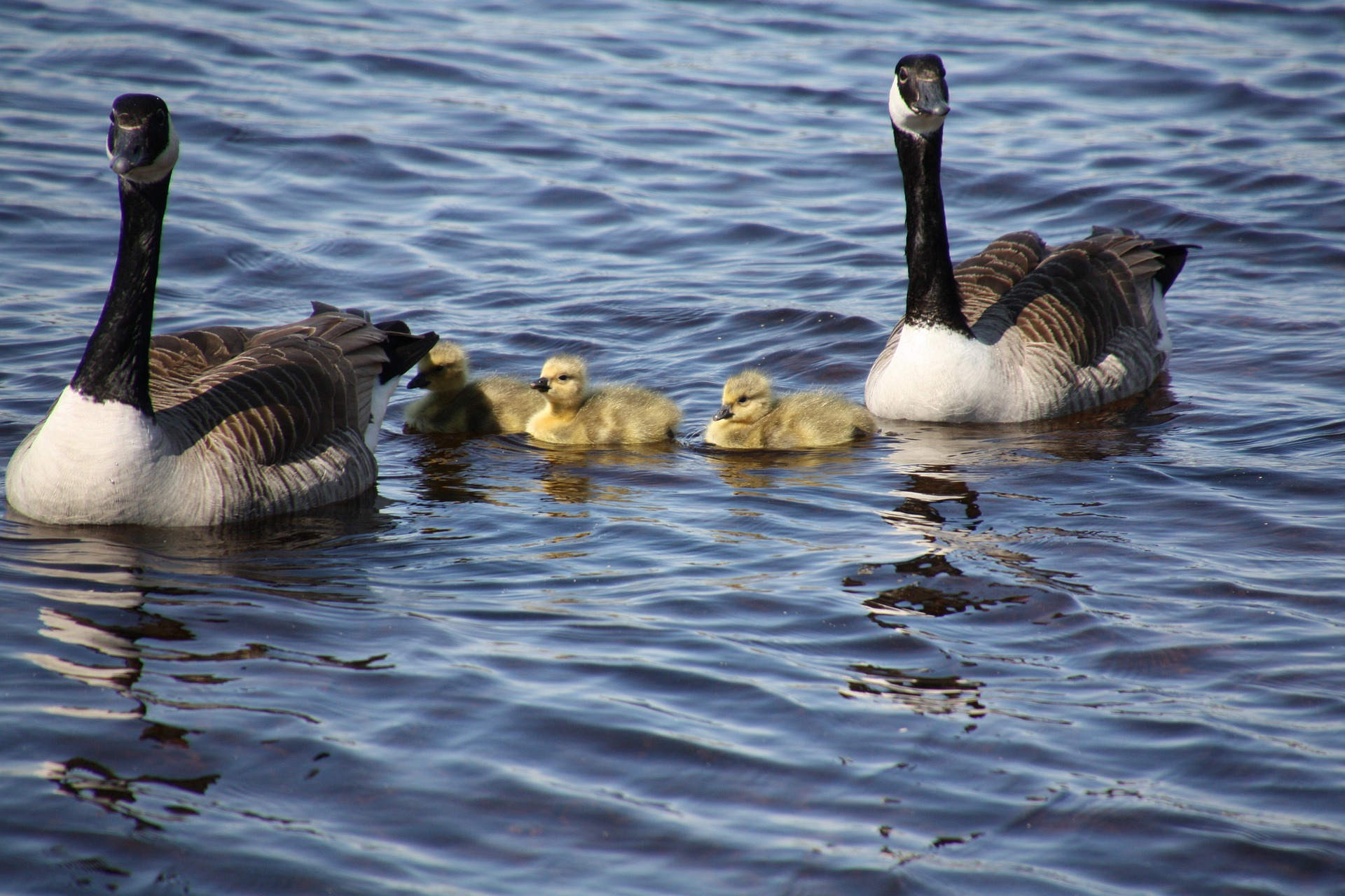 Picture of a Canadian Geese family