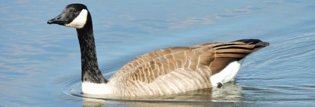 Photograph of canadian goose swimming in pond