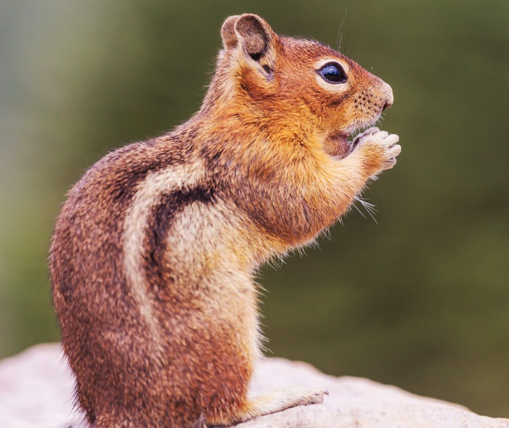 Photograph of chipmunk chewing