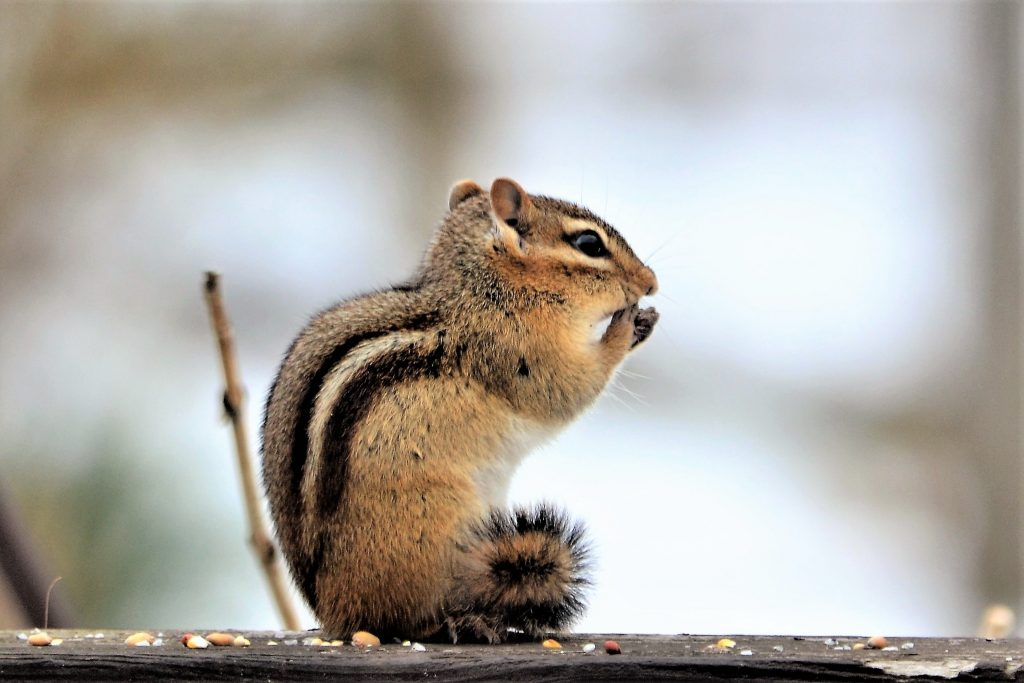 Picture of chipmunk chewing on bird seed