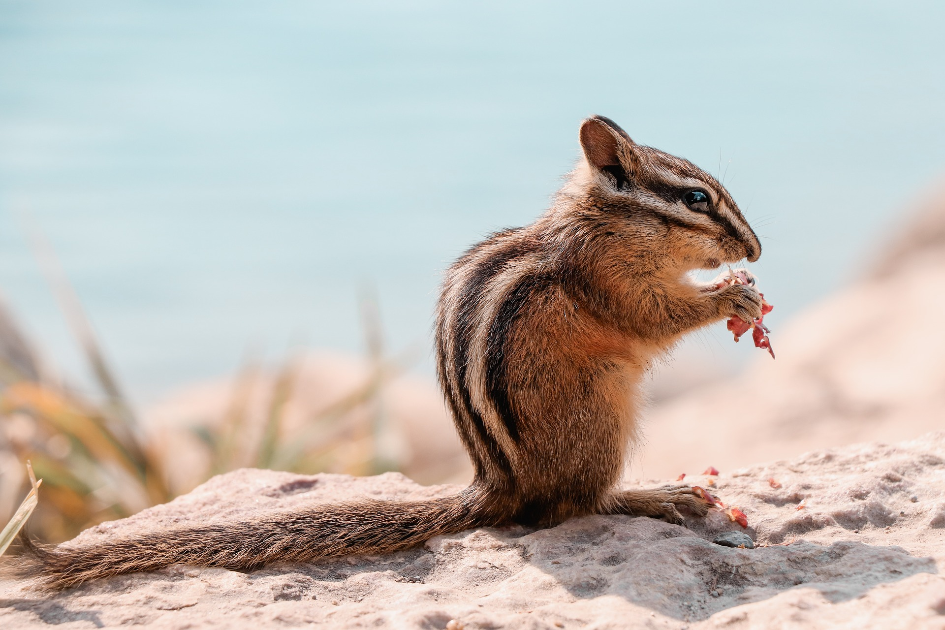 Photo of chipmunk eating seeds