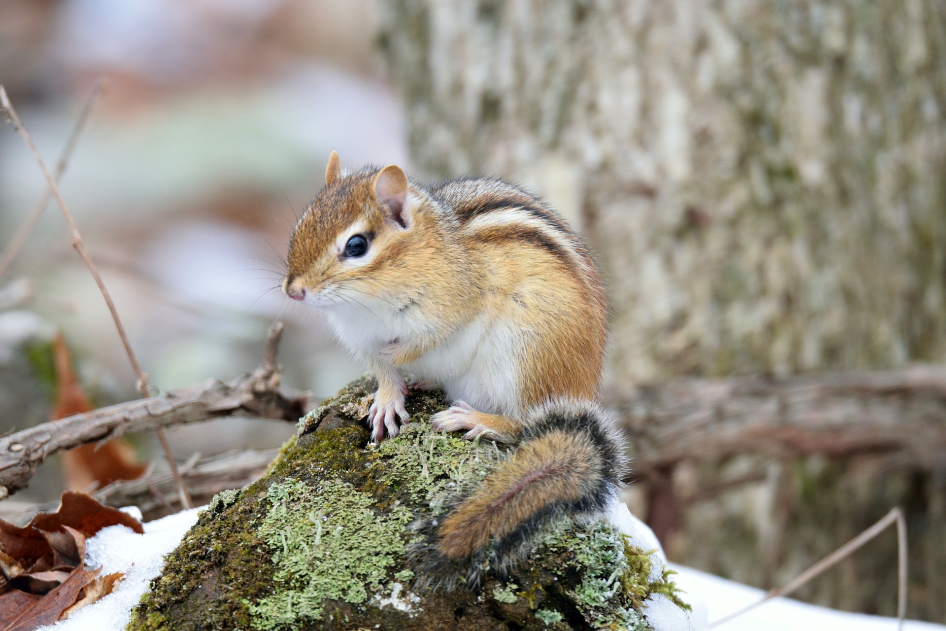 Image of chipmunk in snowy forest