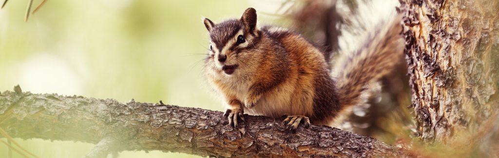 Image of chipmunk in tree nest