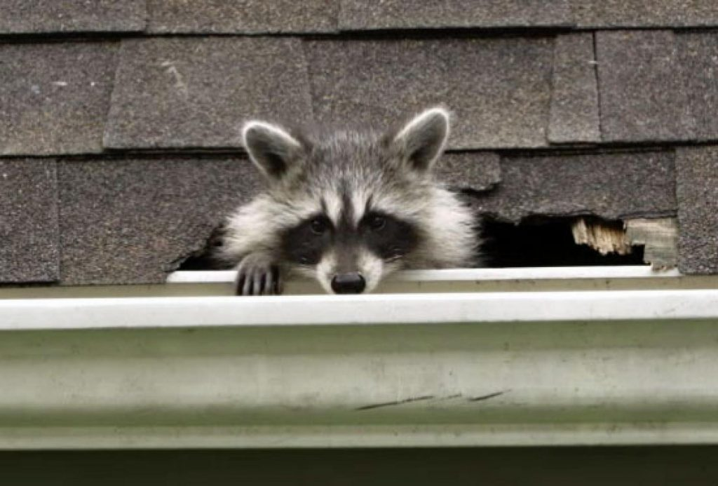 Photo of raccoon that has invaded an attic