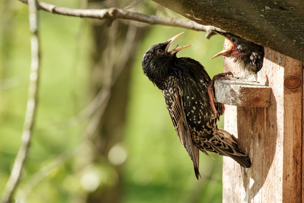 Image of eurpean starling feeding its offspring