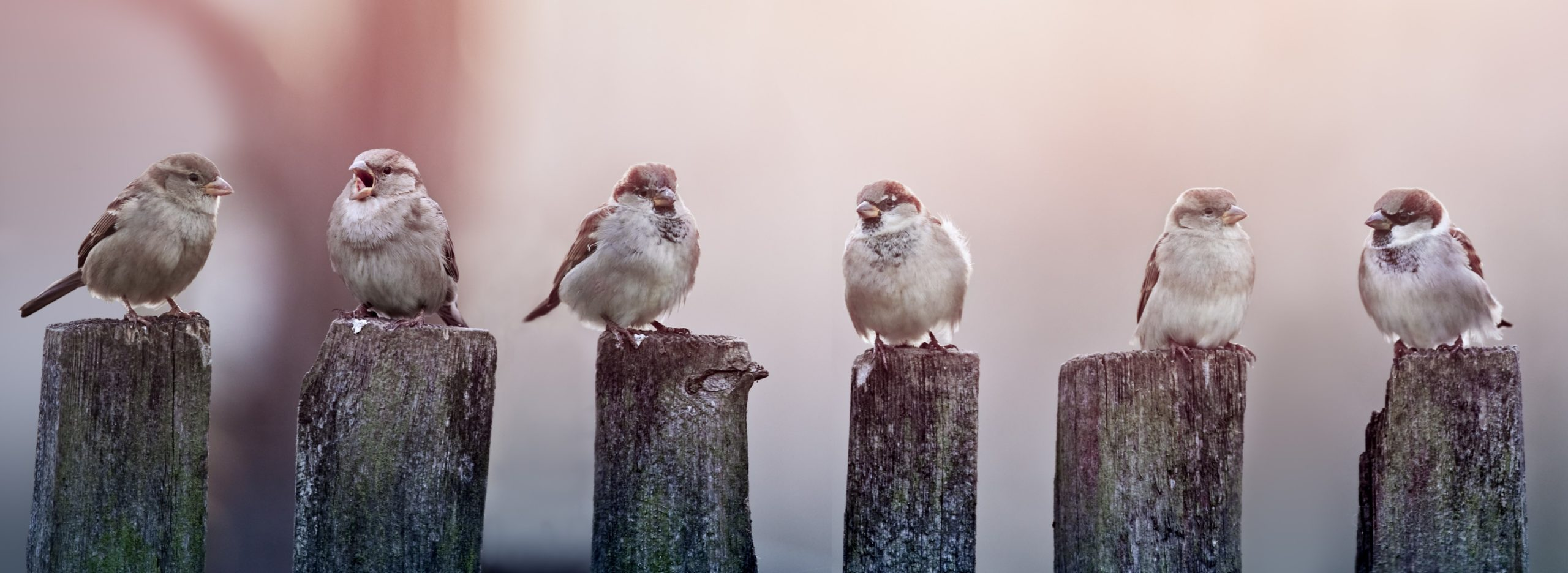 Picture of a flock of house sparrows