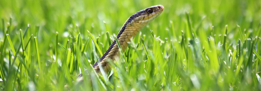 Picture of garter snake peeking out of grass