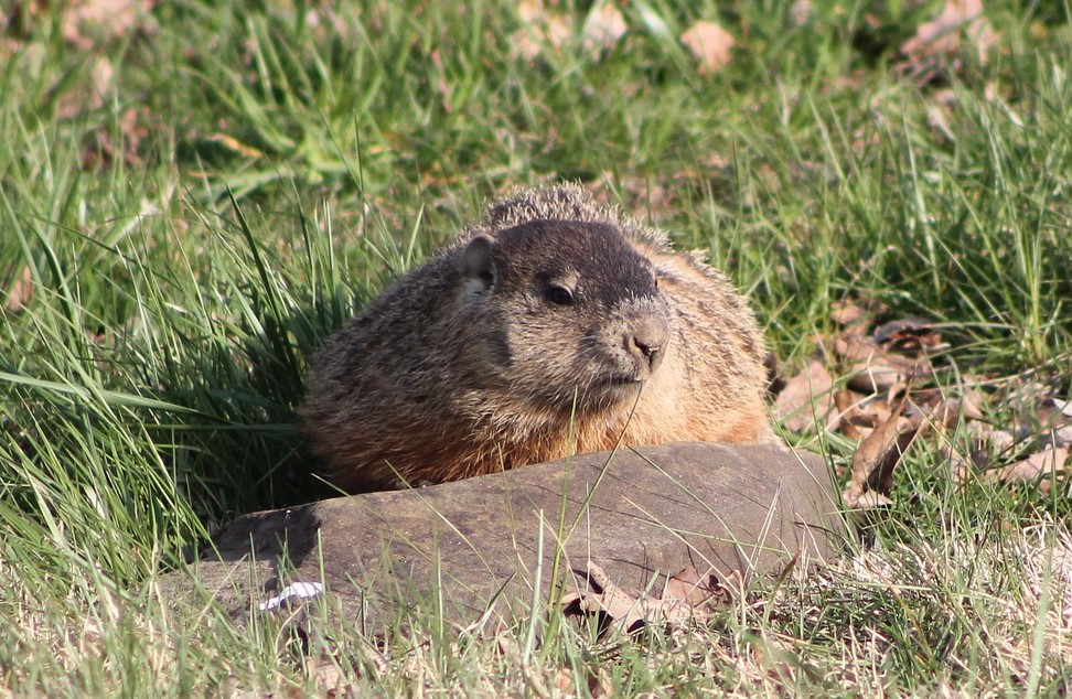 Picture of groundhog in grass