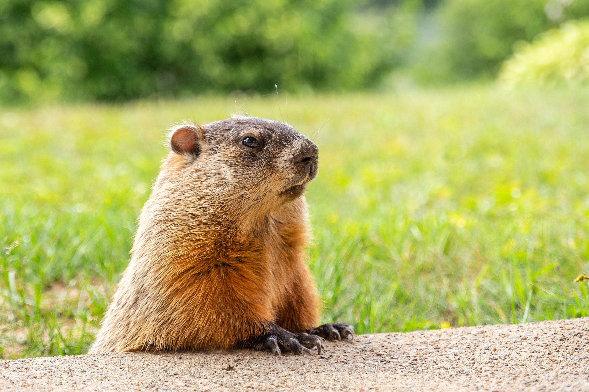 Photo of groundhog in a field