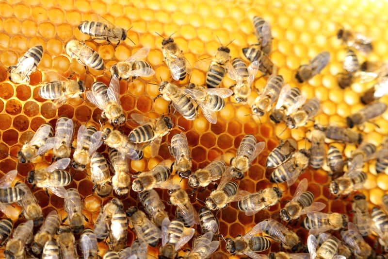 Image of honey bee colony constructing combs