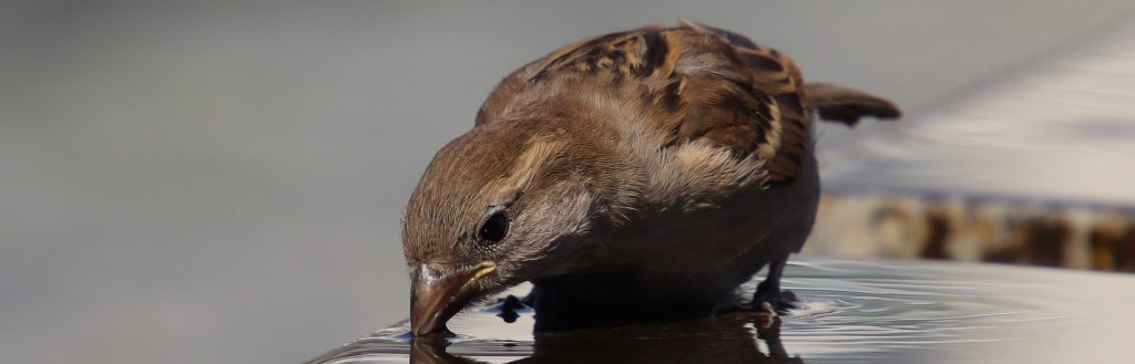 Picture of house sparrow drinking from puddle