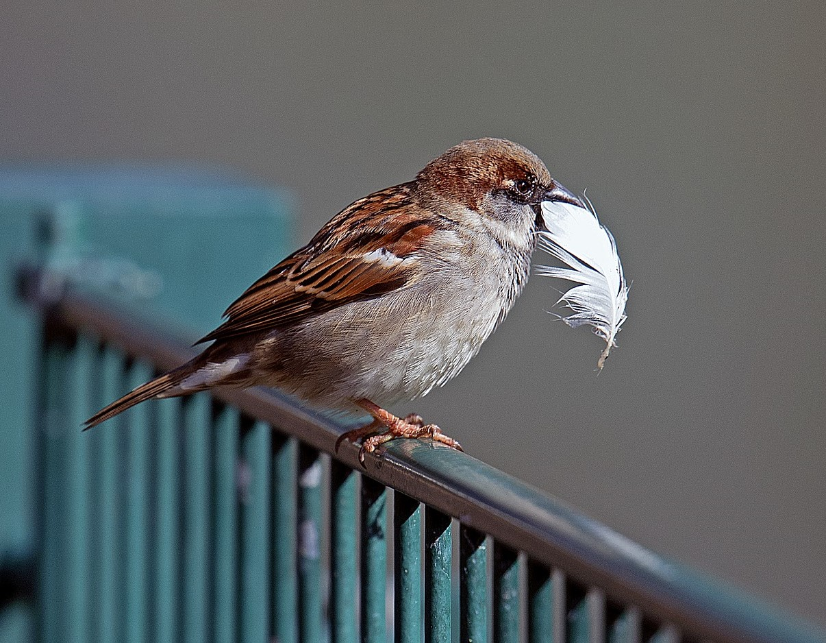 Photograph of house sparrow in a city