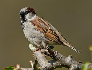 Picture of house sparrow in forest
