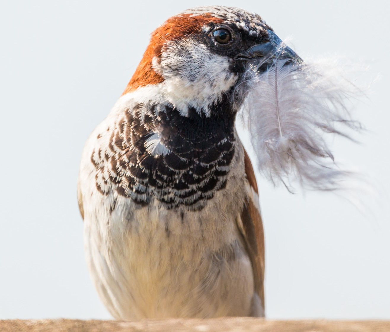 Image of house sparrow collecting feathers