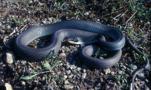 Image of Michigan blue racer snake
