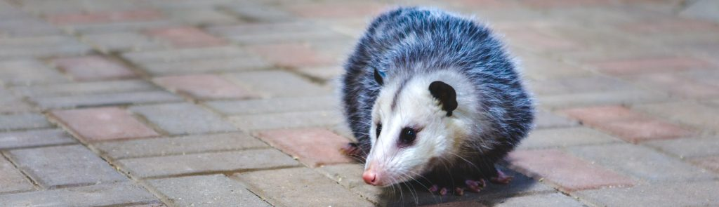 Picture of opossum on street