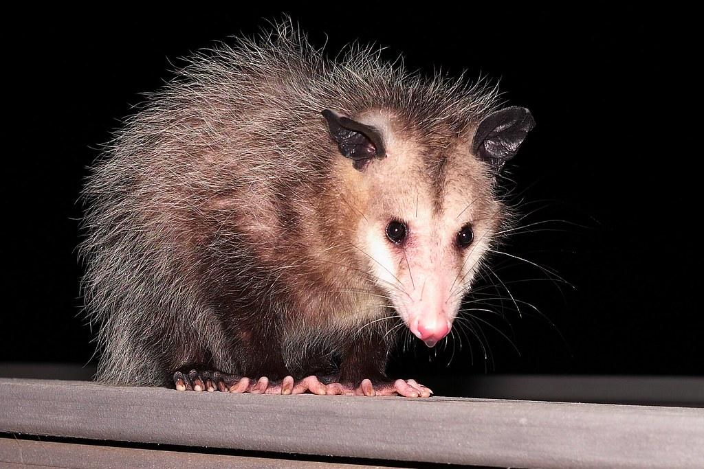 Photo of opossum in the dark