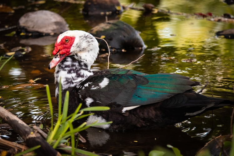 Picture of Muscovy duck in a pond