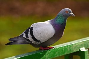 Image of common pigeon