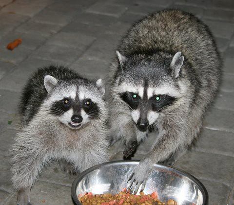 Photo of raccoons spreading Distemper to food bowl