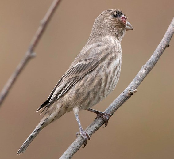 Photo of sparrow with avian pox disease