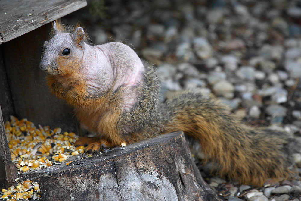 Photo of squirrel infected with mange