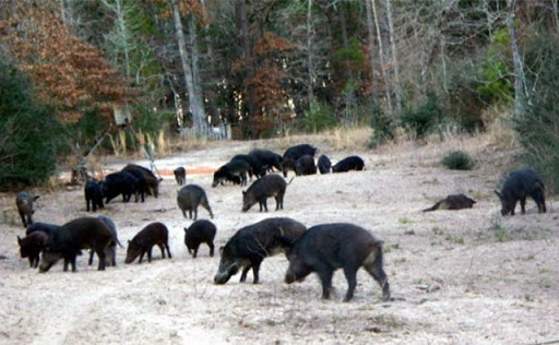 Image of feral hogs uprooting crop