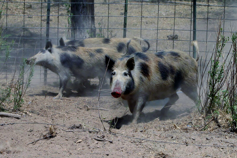Photo of trapped feral hogs
