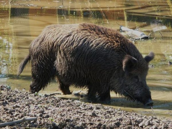 Picture of wild pig foraging