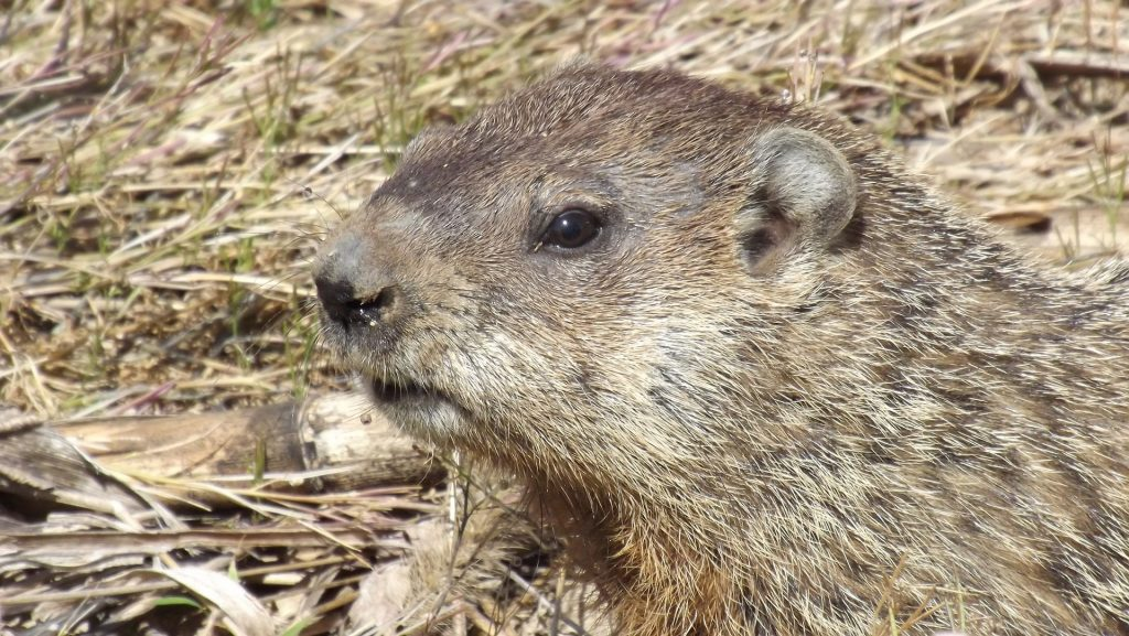 Picture of woodchuck in forest