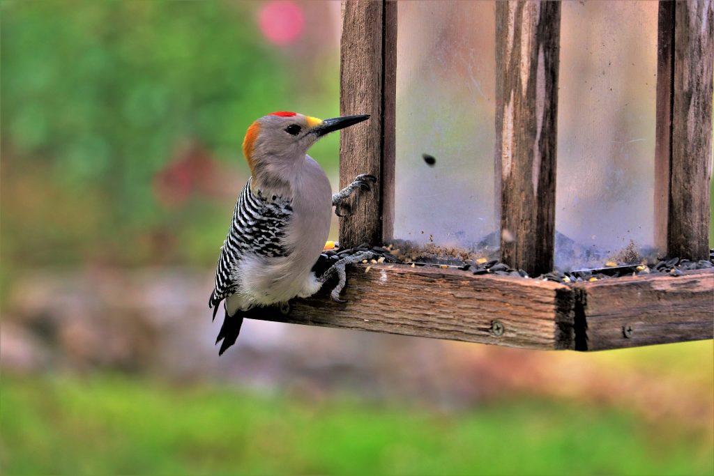 Photograph of woodpecker on birdfeeder