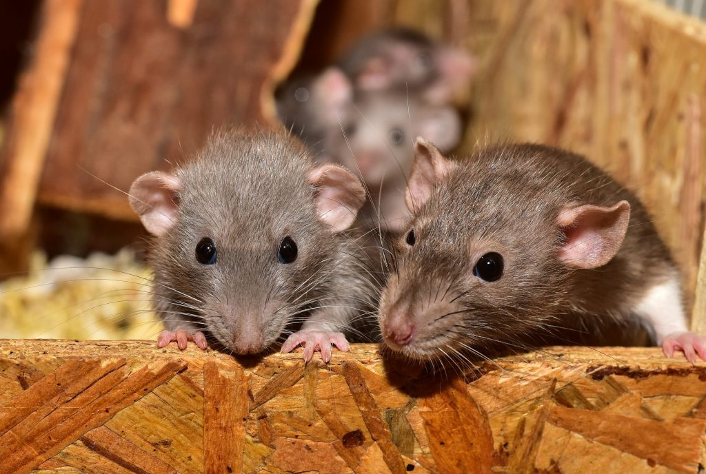 Image of mice infestation is attic