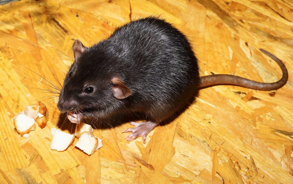 Picture of black rat eating