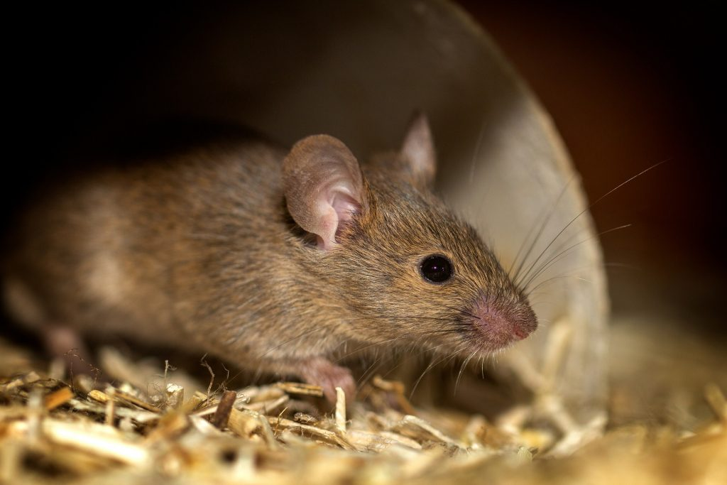 Picture of mouse in attic