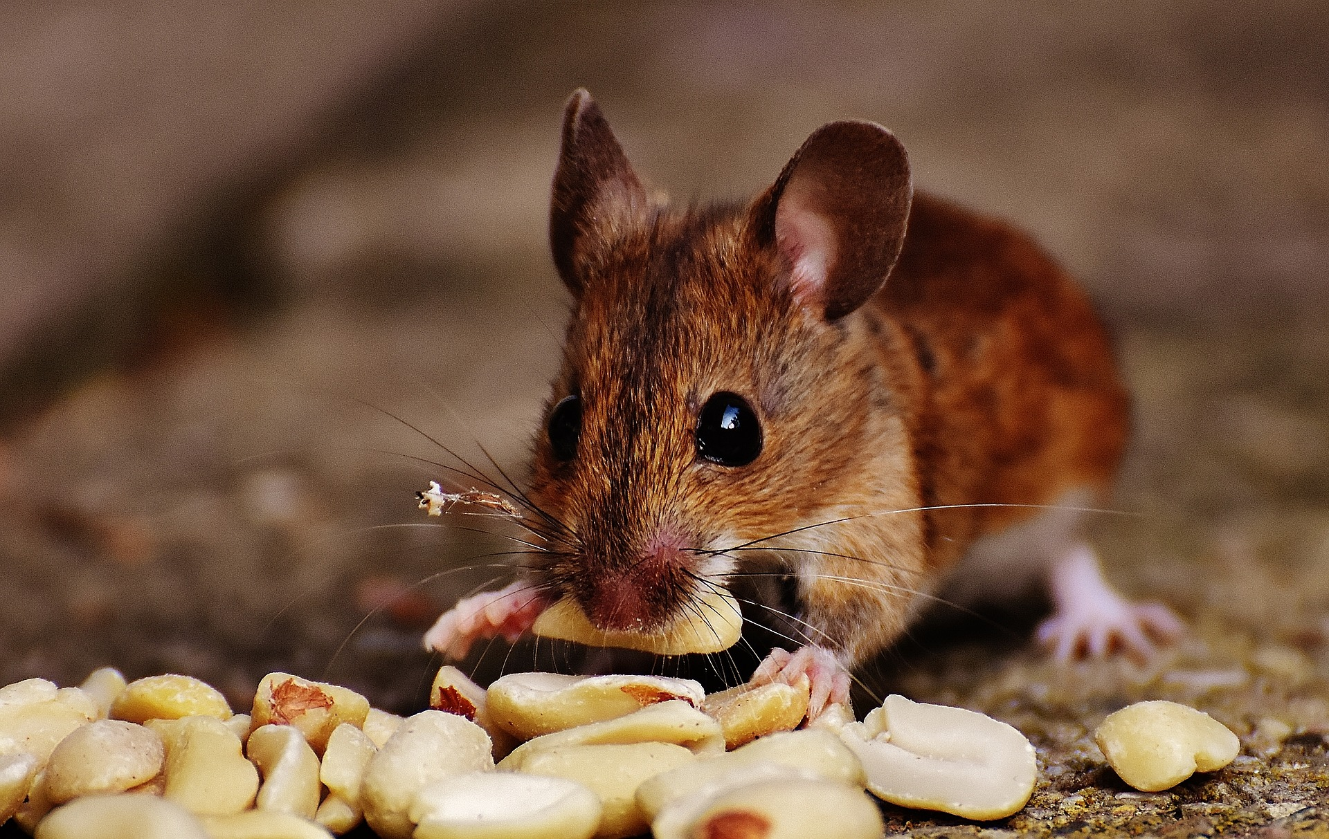 Image of mouse eating in attic