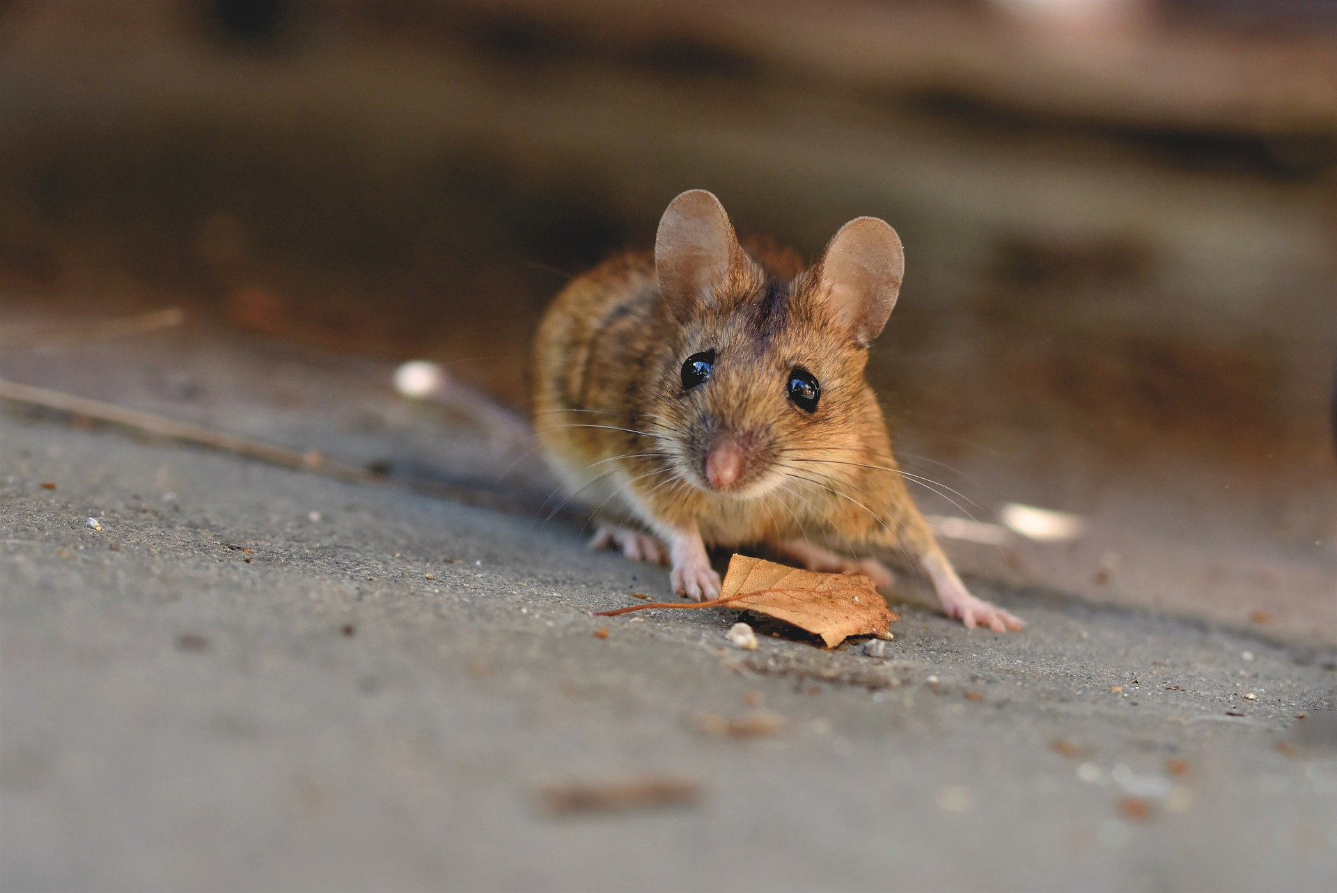 Photo of common house mouse