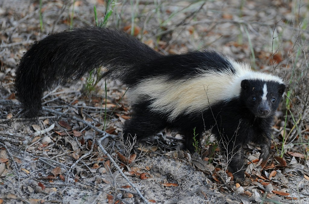 Picture of nuisance skunk