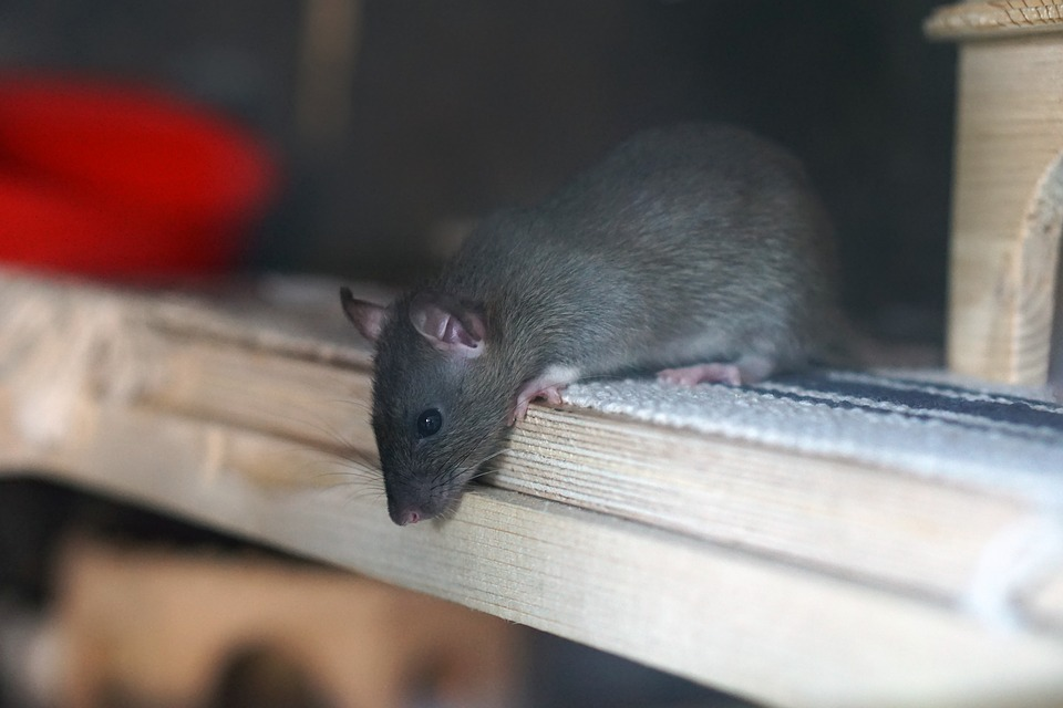 Photo of little brown rat in human attic