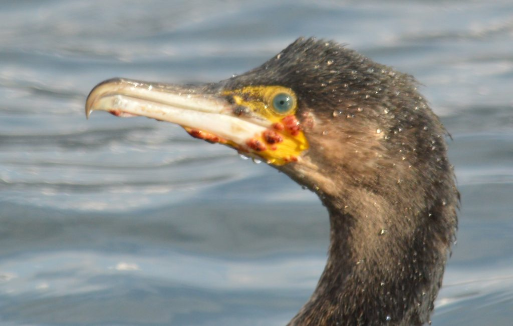 Image of cormorant infected with avian pox