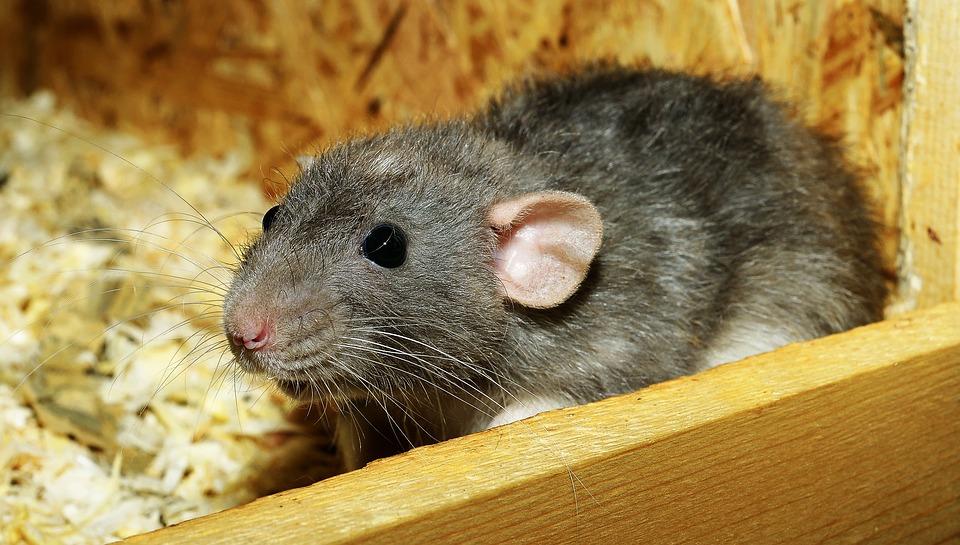 Photograph of female rat in attic insulation