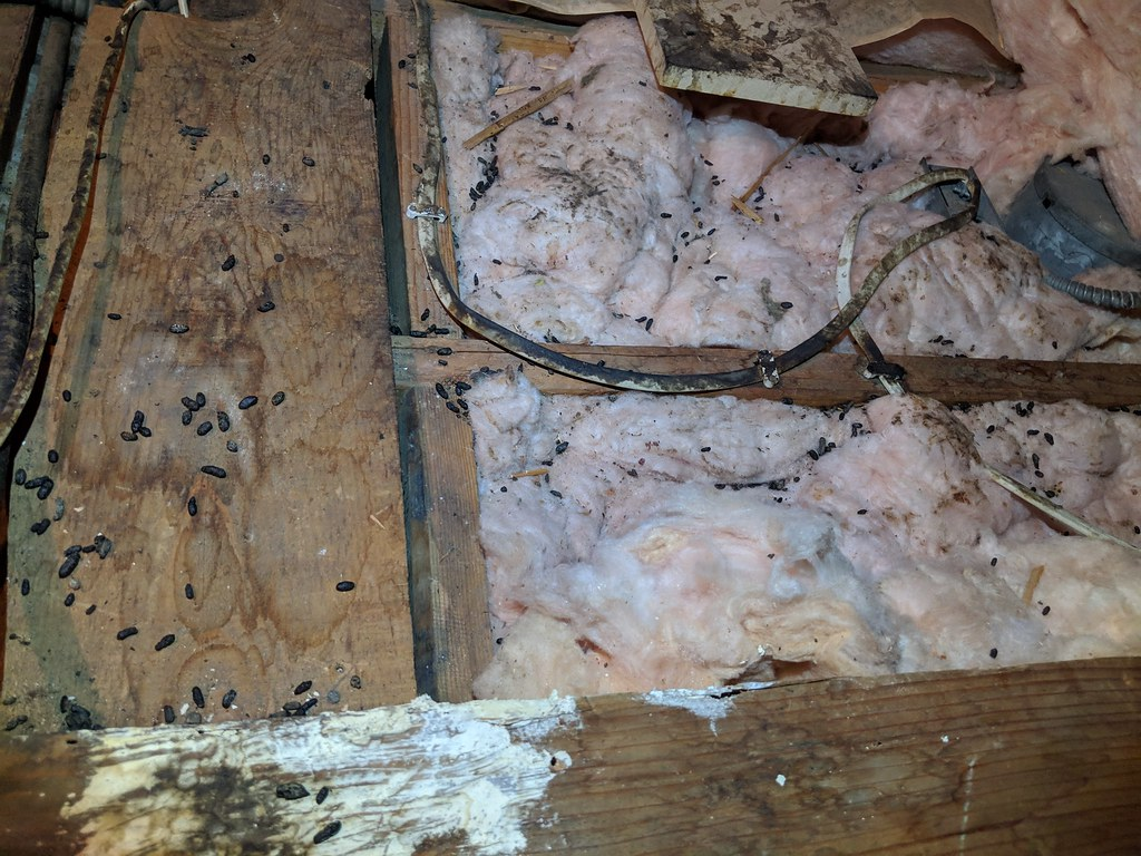 Image of rodent dropping on attic insulation