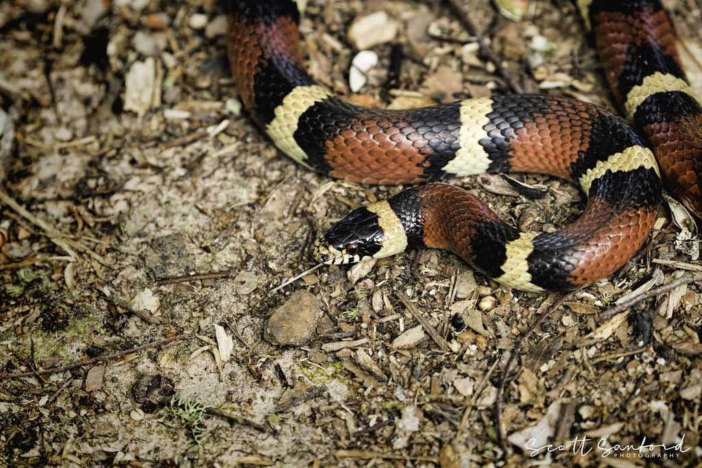 Image of coral snake found in backyard