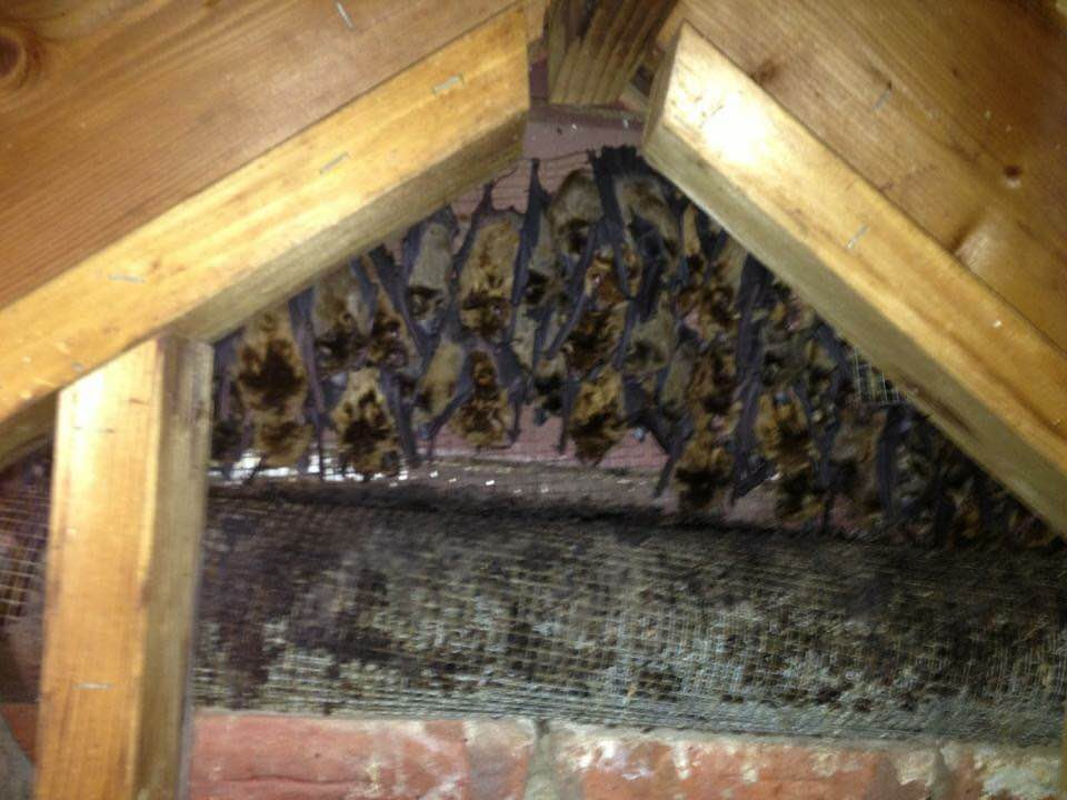 Photo of bats covering attic wall